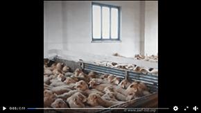 Le calvaire des agneaux de Pâques